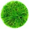"""<b>Roślina InVitro - Eleocharis Acicularis Parvula</b><br /><br /><p>Drobna roślina """"trawnikowa"""".Polecana na pierwszy plan, początkującym akwarystom. Nie posiada dużych wymagań oraz jest odporna na błędy hodowcy.</p>"""