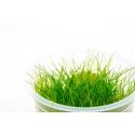 Roślina InVitro - Eleocharis Acicularis Parvula