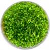 <b>Roślina InVitro - Glossostigma Elatinoides</b><br /><br /><p>Roślina pierwszego planu. Polecana początkującym akwarystom. Posiada małe drobne liście i niewygórowane zapotrzebowania.</p>