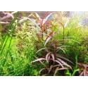 Roślina InVitro - Hygrophila Araguaia