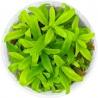 <b>Roślina InVitro - Hygrophila Siamensis</b><br /><br /><p>Roślina idealna dla początkujących. Nadaje się na drugi i trzeci plan. Jest wyjątkowo odporna na błędy hodowcy. Może przyjąć postać emersyjną.</p>