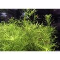 Roślina InVitro - Rotala Nanjenshan
