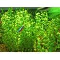 Roślina InVitro - Rotala Macandra sp.Pearl