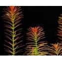 Roślina InVitro - Rotala Wallichii