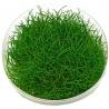 <b>Roślina InVitro - Eleocharis Pusilla</b><br /><br /><p>Roślina o wszechstronnym zastosowaniu. Idealnie nadaje się dla początkujących akwarystów jako roślina na pierwszy plan. Doskonale nada się również, do terrarium o wysokiej wilgotności oraz popularnego ostatnimi czasy, lasu w słoiku. Roślina tworzy gęsty trawnik i nie jest trudna w utrzymaniu.</p>