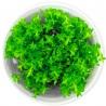 <b>Roślina InVitro - Ludwigia Acurata</b><br /><br /><p>Roślina opodłużnych szpiczastych liściach. W zależności od warunków i regularności przycinania, roślina może nabrać koloru czerwonego od połowy swojej wysokości. Polecana początkującym akwarystom. Jest łatwa w utrzymaniu. Dedykowana na trzeci oraz drugi plan.</p>