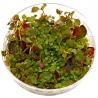 <b>Roślina InVitro - Ludwigia Ovalis</b><br /><br /><p>Roślina oowalnychliściach i różnokolorowym ubarwieniu. Jest jedną z niewielu mało wymagających roślin wodnych o tak unikalnych kolorach. Polecana na drugi plan, gdzie wygląda doskonale sadzona w grupie 5 - 10 roślin.</p>
