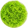 <b>Roślina InVitro - Micranthemum Micranthemoides</b><br /><br /><p>Drobnolistna roślina o jasno zielonym kolorze. Roślina idealnie nadaje się na gęsty trawnik, a także na trzeci plan. Ma wszechstronne zastosowanie i dobrze znosi częste przycinanie. Roślina jest średnio wymagająca, polecana początkującym.</p>