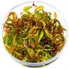 <b>Roślina InVitro - Pogostemon Stellatus</b><br /><br /><p>Roślina mogąca przyjąć barwy od zieleni, poprzez pomarańcz i czerwień aż do różowego. Nies jest mocno wymagająca, choć potrzebuje mocnego oświetlenia. Idealna na drugi oraz trzeci plan.</p>