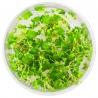 <b>Roślina InVitro - Hydrocotyle Japan</b><br /><br />&lt;p&gt;Popularna i bardzo wytrzymała roślina. Jest wszechstronna, gdyż nadaje się na trawnik, roślinę drugiego planu, a nawet do obsadzenia korzeni. Roślina nie jest wymagająca i posiada wysokie zdolności adaptacyjne oraz emersyjne.&lt;/p&gt;