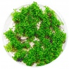 <b>Roślina InVitro - Elatine Hydropiper</b><br /><br /><p>Bardzo drobna roślina trawnikowa.Roślina jest łatwa w utrzymaniu i sprawia dużo mniej problemów niż inne trawniki np. Glossostigma czy Hemianthus 'Cuba'. Żywa zieleń doskonale wpasuje się w elementy dekoracji jak szare kamienie i korzenie. Idealna do nano zbiorników. Roślina w hodowli emersyjnej wypuszcza małe czerwone kwiaty.</p>