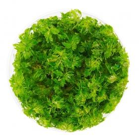 <b>Roślina InVitro - Limnophila Sessiliflora</b><br /><br />&lt;p&gt;Roślina, która z łatwością dostosowuje się do warunków panujących w akwarium. Swoją popularność zawdzięcza łatwości w hodowli oraz małymi wymaganiami. Polecana na trzeci i drugi plan. Roślina może przyjąć formę emersyjną.&lt;/p&gt;