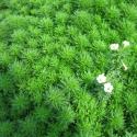 Roślina InVitro - Limnophila Sessiliflora