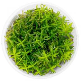 <b>Roślina InVitro - Didiplis diandra</b><br /><br />&lt;p&gt;Doskonała roślina do urozmaicenia kolorystyki akwarium. Przy wysokim oświetleniu końcówki rośliny zabarwią się na pomarańczowo. Najlepiej sadzić w małych grupach na drugim planie, w dużych zbiornikach. W mniejszych akwariach polecana na trzeci plan.&lt;/p&gt;