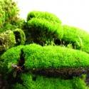 Silent Moss - Mech żywy porcja 9 x 6 cm 10g