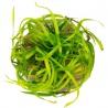 <b>Roślina InVitro - Helanthium Tenellum Green</b><br /><br />&lt;p&gt;Roślina przypominająca kępkę trawy. Posiada mocne i mięsiste źdźbła oraz silne korzenie. Szybko może się rozprzestrzenić po dnie zbiornika tworząc wysoki trawnik. Polecana na pierwszy plan lub drugi gdzie ładnie się prezentuje sadzona w kępkach. Silne źdźbła doskonale dają sobie radę poza środowiskiem wodnym np: w terrarium, paludarium lub w popularnej aranżacji &quot;las w słoiku&quot;.&lt;/p&gt;