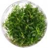 <b>Roślina InVitro - Proserpinaca Palustris</b><br /><br />&lt;p&gt;Wyjątkowa roślina o długich piłokształtnych liściach. Może przyjąć barwy od złocistej zieleni po głęboką czerwień. roślina nie sprawia problemów w hodowli i toleruje szeroki zakres warunków panujących w akwarium. Jako roślina typowo bagienna doskonale daje sobie radę poza powierzchnią wody. Stanowi doskonałą ozdobę każdego terrarium o wysokiej wilgotności i kompozycji typu las w słoiku.&lt;/p&gt;