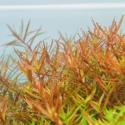 Roślina InVitro - Rotala Rotundifolia