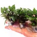 Roślina InVitro - Staurogyne Repens