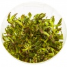"""<b>Roślina InVitro - Limnophila Aromatica</b><br /><br /><p>Roślina ta może przybraćkolor ciemnej zieleni, pomarańcz czerwień i purpurę. Jest jedną z łatwiejszych wysokich i kolorowych roślin w utrzymaniu. Liście posiadają charakterystyczne """"ząbki"""" i w zależności od środowiska mogą się wydłużać. Aromatica może być polecana początkującym akwarystom. Dobrze sobie radzi poza wodą w terrarium, paludarium czy w lesie w słoiku o wysokiej wilgotności.</p>"""