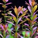 Roślina InVitro - Rotala Yao Yai
