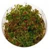 <b>Roślina InVitro - Ammania Senegalensis</b><br /><br /><p>Wysoka roślina i podłużnych liściach i silnej łodydze. W dobrych warunkach i przy dużym udziale żelaza może przyjąć kolory czerwone. Dobrze sobie radzi jako roślina emersyjna, gdzie nad wodą wypuszcza małe fioletowe kwiaty. Polecana drugi plan.</p>