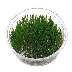 <b>Roślina InVitro - Taxphyllum Spiky Moss</b><br /><br /><p>Popularny mech o nadzwyczajnej odporności na parametry wody. Może porastać kamienie, korzenie i inne dekoracje. Nie wymaga silnego światła. Świetnie sprawdza się w krewetkariach. Polecany dla początkujących.</p>