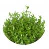 """<b>Eco Plant - Gratiola Viscidula - InVitro duży kubek</b><br /><br /><p>Mało popularna pośród miłośników wszelkiej zieleni, roślina o charakterystycznych liściach przypominających cierń. Roślina nie wymaga specjalnej opieki. wystarczy czysta woda i oświetlenie średniej mocy. doskonale nadaje się do akwarium na drugi plan oraz do terrarium, paludarium i kompozycji """"las w słoiku"""".Ilość sadzonek roślin w kubku 14 - 50szt.</p>"""