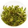 """<b>Eco Plant - Limnophila Aromatica - InVitro duży kubek</b><br /><br /><p>Roślina ta może przybraćkolor ciemnej zieleni, pomarańcz czerwień i purpurę. Jest jedną z łatwiejszych wysokich i kolorowych roślin w utrzymaniu. Liście posiadają charakterystyczne """"ząbki"""" i w zależności od środowiska mogą się wydłużać. Aromatica może być polecana początkującym akwarystom. Dobrze sobie radzi poza wodą w terrarium, paludarium czy w lesie w słoiku o wysokiej wilgotności.</p>"""