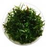 <b>Eco Plant - Ludwigia Brevipes - InVitro duży kubek</b><br /><br /><p>Roślina opodłużnych szpiczastych liściach. W zależności od warunków i regularności przycinania, roślina może nabrać koloru czerwonego od połowy swojej wysokości. Polecana początkującym akwarystom. Jest łatwa w utrzymaniu. Dedykowana na trzeci oraz drugi plan.Ilość sadzonek roślin w kubku 14 - 50szt.</p>