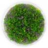<b>Eco Plant - Rotala Macandra sp.Pearl - InVitro duży kubek</b><br /><br /><p>Rotala sp. Pearl to jedna z najładniejszych roślin drugiego planu. Długie łodygi porastają drobnymi liśćmi, tworząc unikatowy kształt w akwarium. Roślina o wysokich wymaganiach. Łodyga jak i część liści może przyjmować ciemnoczerwony kolor.Ilość sadzonek roślin w kubku 14 - 50szt.</p>