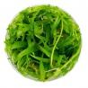 <b>Eco Plant - Echinodorus Magdalensis - InVitro duży kubek</b><br /><br /><p>Roślina z rodziny Echinodorus. Może porastać pierwszy, drugi lub trzeci plan. Odporna na różnorodne warunki hodowlane. Może być całkowicie zanurzona lub rosnąć poza wodą. Ilość sadzonek roślin w kubku 14 - 50szt.</p>
