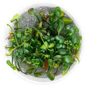 <b>Eco Plant - Marsilea Quadrifolia - InVitro duży kubek</b><br /><br /><p>Doskonała roślinka trawnikowa. Kształtem przypomina koniczynkę czterolistną. Odporna na każde warunki wody. W słabym oświetleniu może wyrosnąć nawet do powierzchni wody lub wyżej. Ilość sadzonek roślin w kubku 14 - 50szt.</p>