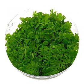 <b>Eco Plant - Ceratopteris Thalictroides Fein - Invitro duży kubek</b><br /><br /><p>Roślina o unikalnym kształcie paproci wodnej. Przy mocnym oświetleniu szybko się rozwija. Nie musi być sadzona w podłożu. Dobra na drugi i trzeci plan. Polecana zaawansoanym akwarystom.Ilość sadzonek roślin w kubku 14 - 50szt.<br /><br /></p>