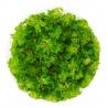 <b>Eco Plant - Limnophila Vietnam Mini - InVitro mały kubek</b><br /><br /><p>Roślina ta może przybraćkolor ciemnej zieleni, pomarańcz i czerwień, gdy podamy jej dużo światła. Normalnie jest jasnozielona o drobnej budowie. Jest jedną z łatwiejszych roślin w utrzymaniu. Liście zależności od środowiska mogą się wydłużać. Może być polecana początkującym akwarystom. Dobrze sobie radzi poza wodą w terrarium, paludarium czy w lesie w słoiku o wysokiej wilgotności.</p>