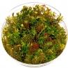 <b>Eco Plant - Rotala Wallichii - InVitro mały kubek</b><br /><br /><p>Roślina o charakterystycznym ubarwieniu, które płynnie przechodzi od jasnej zieleni, poprzez pomarańcz aż do czerwieni. Posiada długie i bardzo wąskie liście, rosnące wokół długiej łodygi. Doskonale nadaje się na roślinę trzeciego planu. Roślina o średnich wymaganiach.Ilość sadzonek roślin w kubku 14 - 50szt.</p>