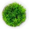 <b>Eco Plant - Rotala Nanjenshan - InVitro mały kubek</b><br /><br /><p>Piękna, wysoka roślina o gęstych podłużnych liściach. Dedykowana na drugi i trzeci plan. Wymaga dobrego oświetlenia i dawkowania CO2. Jest trudna w utrzymaniu. Kształt jak i kolor jest mocno unikatowy spośród innych roślin akwariowych.Ilość sadzonek roślin w kubku 14 - 50szt.</p>