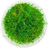 <b>Eco Plant - Eleocharis Acicularis - InVitro mały kubek</b><br /><br /><p>Drobna roślina o długich źdźbłach trawy. Łatwa w utrzymaniu, nie wymagająca. Polecana na pierwszy oraz drugi plan. Doskonała do małych ja i dużych zbiorników.Ilość sadzonek roślin w kubku 14 - 50szt.</p>