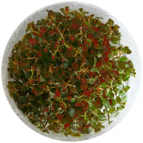 Eco Plant - Ludwigia Super Mini Red - invitro mały kubek
