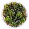 <b>Eco Plant - Ludwigia Repens - invitro mały kubek</b><br /><br /><p>Ludwigia Repens to kolorowa łodygowa roślina, przeznaczona dla hodowcy, który spodziewa się łatwego i bezproblemowego utrzymania roślinki. Roślina odrobnych okrągłych liściach, które mogą przybierać różne ubarwienie w zależności od parametrów wody.Wysoka wzrostem, dedykowana jest na drugi lub trzeci plan.</p>