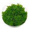<b>Eco Plant - Ceratopteris Thalictroides Fein - Invitro mały kubek</b><br /><br /><p>Roślina o unikalnym kształcie paproci wodnej. Przy mocnym oświetleniu szybko się rozwija. Nie musi być sadzona w podłożu. Dobra na drugi i trzeci plan. Polecana zaawansoanym akwarystom.Ilość sadzonek roślin w kubku 14 - 50szt.<br /><br /></p>