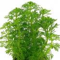Eco Plant - Ceratopteris Thalictroides Fein - Invitro duży kubek