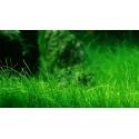 Roślina InVitro - Eleocharis Acicularis Mini