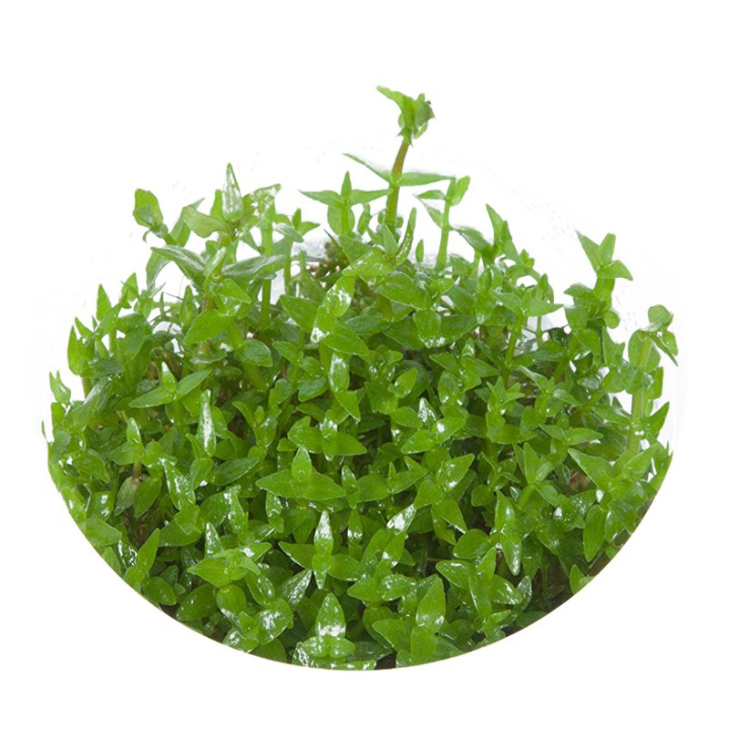 Roślina InVitro - Gratiola Viscidula