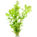 Eco Plant - Hedyotis Salzmanii - InVitro duży kubek