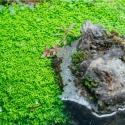 Roślina InVitro - Hemianthus Cuba