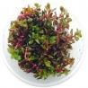 <b>Eco Plant - Rotala Rotundifolia - InVitro mały kubek</b><br /><br /><p>Popularna roślina o czerwonawym ubarwieniu. Polecana początkującym akwarystom, dzięki niewygórowanym potrzebom oraz wysokim zdolnościom adaptacyjnym. Idealna na drugi i trzeci plan. Roślina dobrze sobie radzi w formie emersyjnej.Ilość sadzonek roślin w kubku 14 - 50szt.</p>