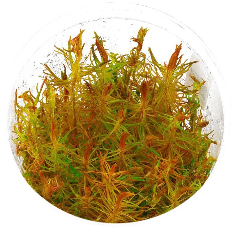 Eco Plant - Rotala Vietnam - InVitro duży kubek