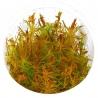 """<b>Eco Plant - Rotala Vietnam - InVitro mały kubek</b><br /><br /><p>Roślina ta stosunkowo nie dawno trafiła pod """"opiekę"""" akwarystów. W zasadzie kolorystycznie jest to odwrotność Rotala Walichii. Wysoka i liściach przypominających igły. Posiada czerwone łodygi.Ilość sadzonek roślin w kubku 14 - 50szt.</p>"""