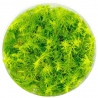 <b>Eco Plant Myriophyllum Aquaticum - Invitro mały kubek</b><br /><br /><p>Myriophyllum Aquaticum to wyjątkowa i piękna roślina której liście przypominają pióro. Jest doskonałą dekoracją akwarium i stanowi świetne urozmaicenie każdego akwarium roślinnego. Może przyjąć postać emersyjną, dlatego nadaje się do terrarium, paludarium i kompozycji las w słoiku.</p>
